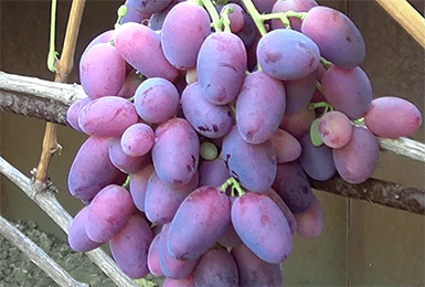 Виноград ризамат — описание сорта, фото