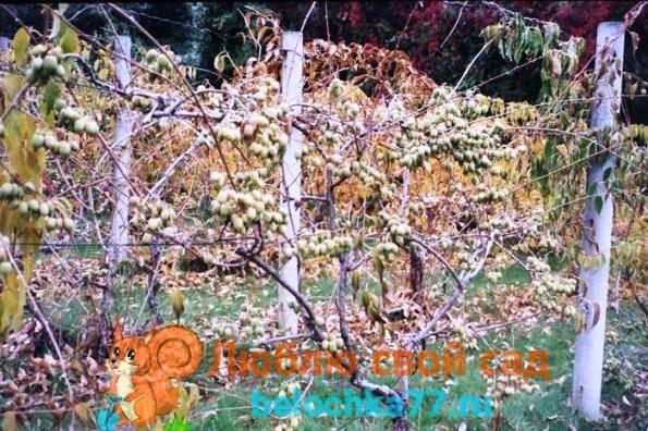 Посадка и уход за актинидией коломиктой на урале и в сибири: фото + видео