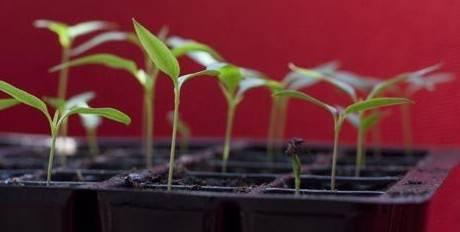 Как правильно посеять семена перца летом, чтобы успеть собрать урожай