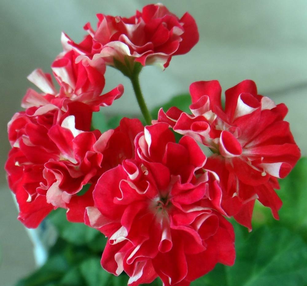 Герань тюльпановидная: описание сортов, посадка, уход и размножение