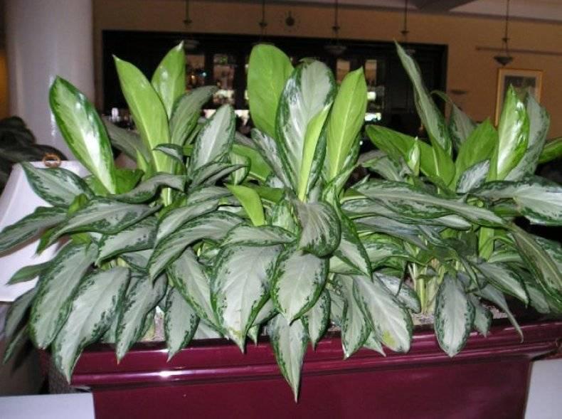 Выращиваем на комнатном подоконнике растение из тропиков аглаонему