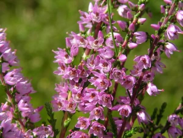 Шотландский вереск, вересковые поля фото. вереск. растение шотландских легенд когда цветет вереск в шотландии
