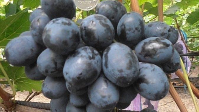 Правила ухода за виноградом на урале для начинающих
