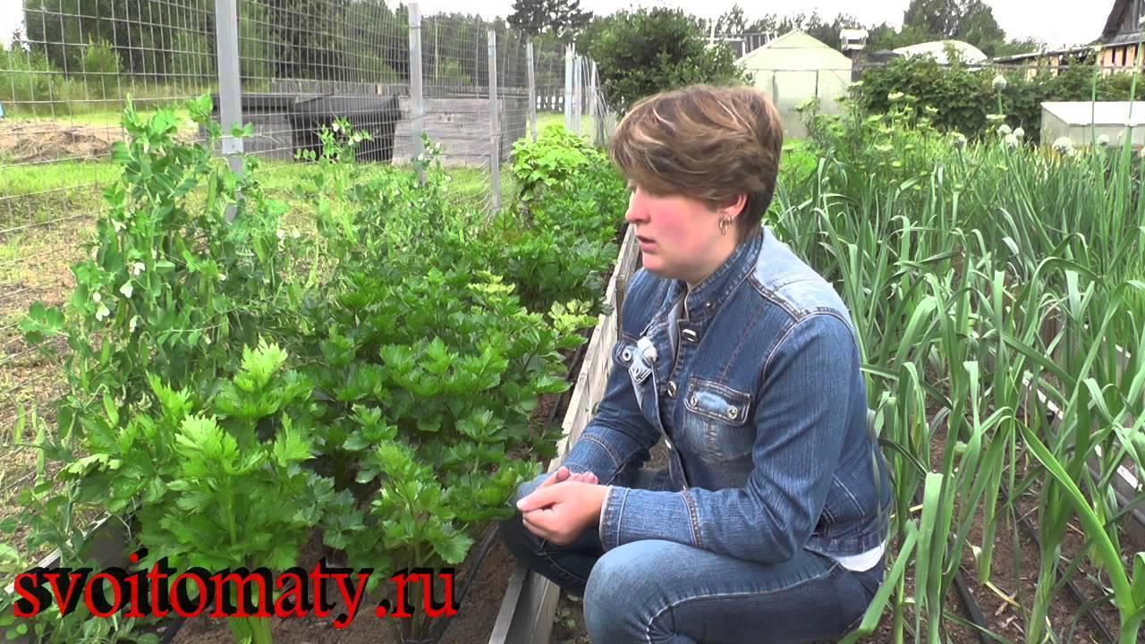 Черешковый сельдерей — правильно выращиваем полезное растение