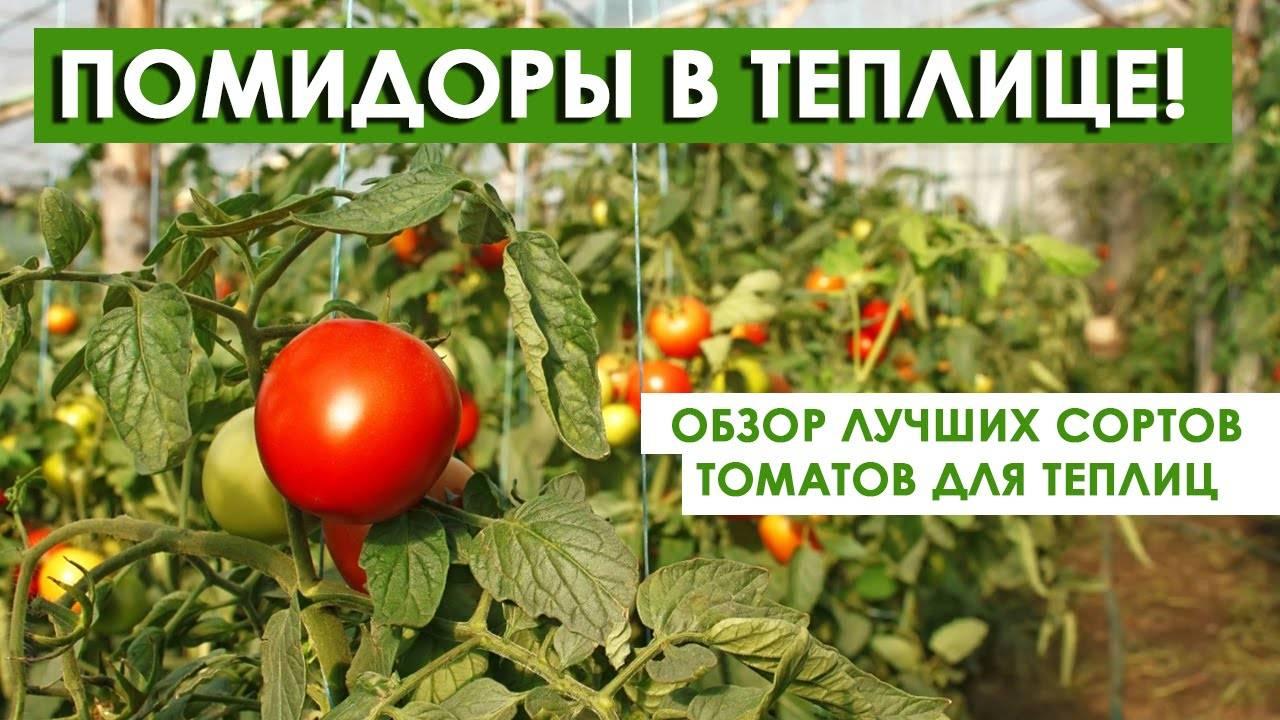 Не привередливый сорт для теплиц — томат урал супер f1: отзывы об урожайности, описание помидоров