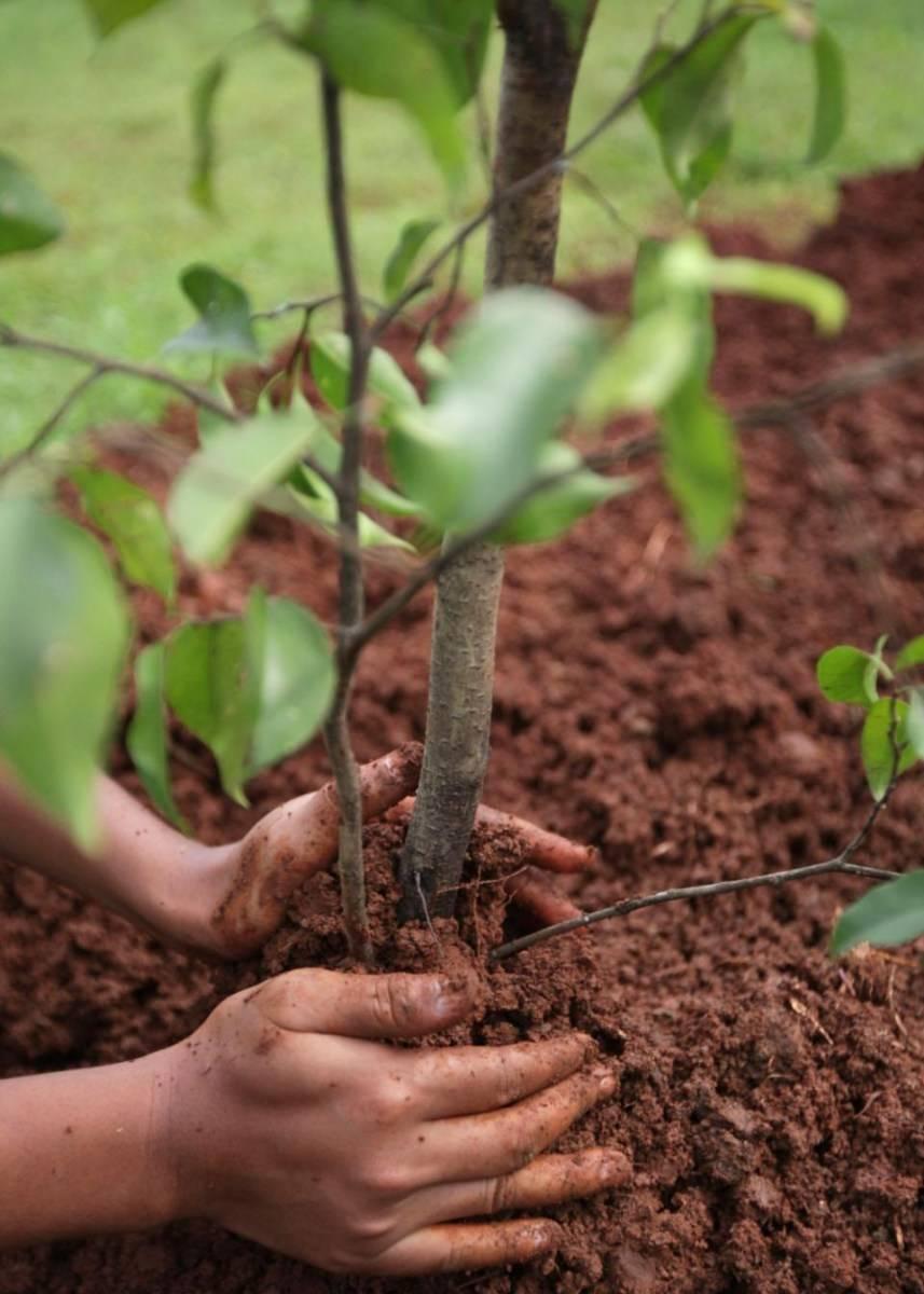 Почему я выращиваю груши только на айвовом подвое