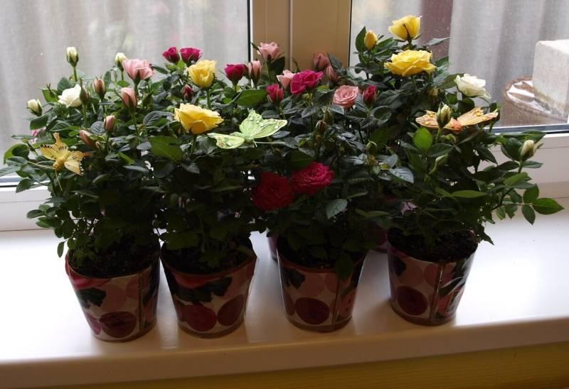 Розы в горшках, уход в домашних условиях, содержание