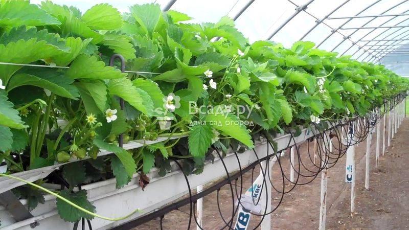 Сорта клубники для выращивания круглый год в домашних условиях