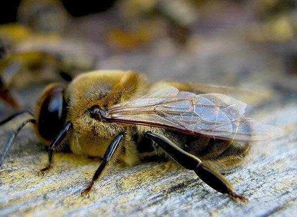 Роль трутней в пчелиной семье