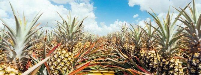 Как в домашних условиях посадить и вырастить ананас из зеленой верхушки?