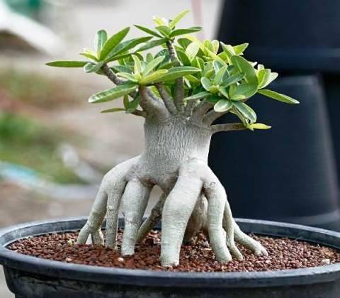 Выращивание адениума из семян