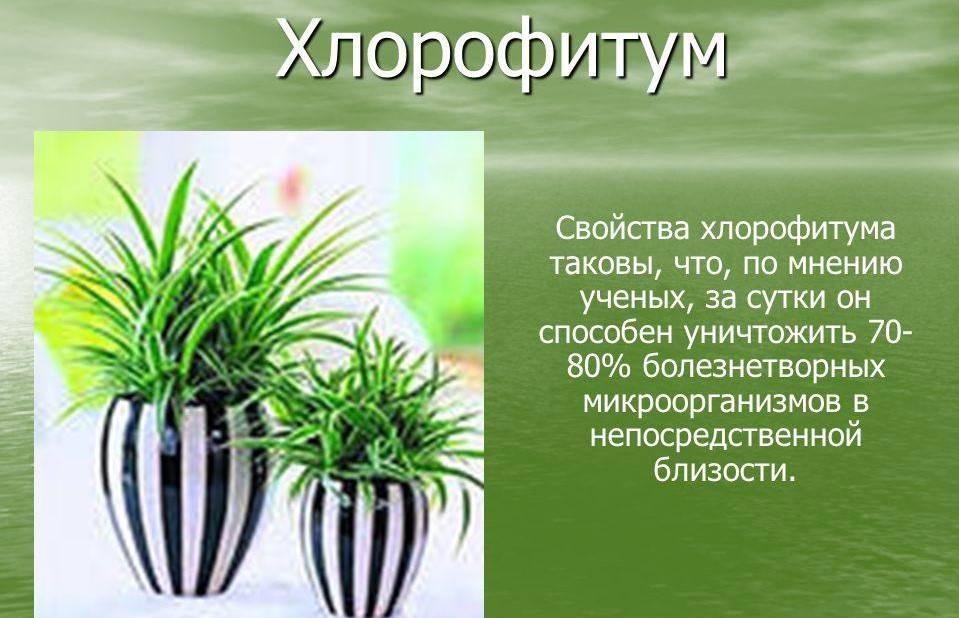 Хлорофитум – уход в домашних условиях и особенности выращивания