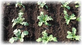 Секреты выращивания моркови в открытом грунте. агротехника и особенности посадки в регионах