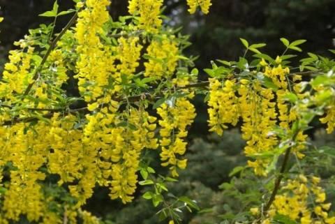 Желтая акация – карагана древовидная: описание и особенности выращивания