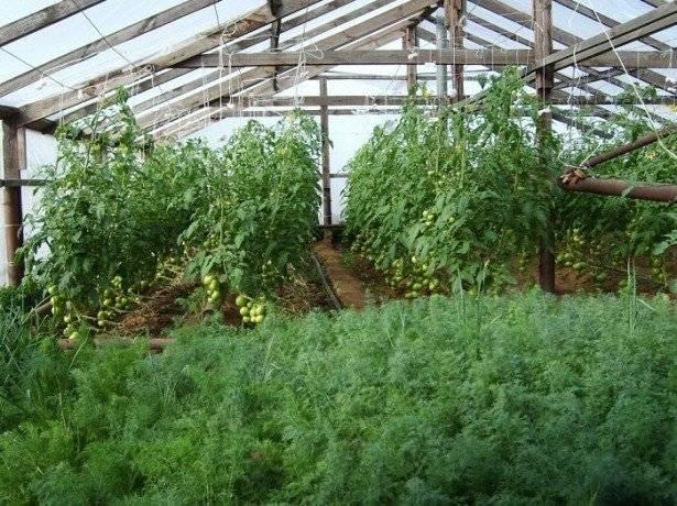 Петрушка на продажу – технология выращивания петрушки в больших количествах
