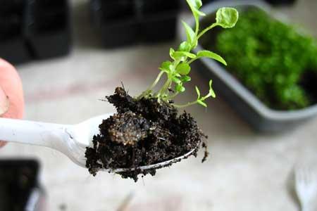 Кропотливое выращивание рассады лобелии