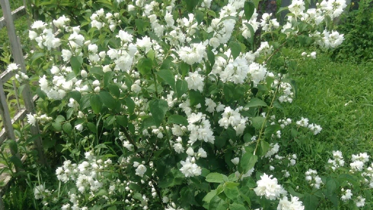 Наслаждение сладким ароматом в тени декоративных кустарников сада