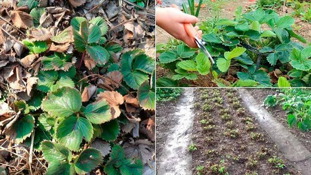 Уход за клубникой после сбора урожая: 130 фото и видео советы как правильно обрабатывать клубнику после сбора