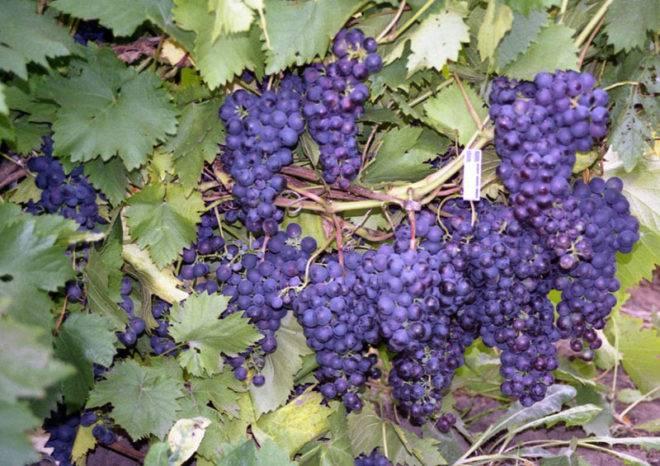 Уход за виноградом летом и особенности ухаживания в первый год