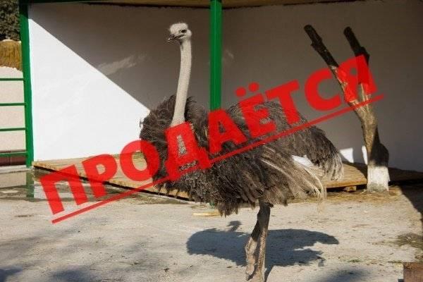 Как и чем кормить страусов: все о способах и режиме кормления