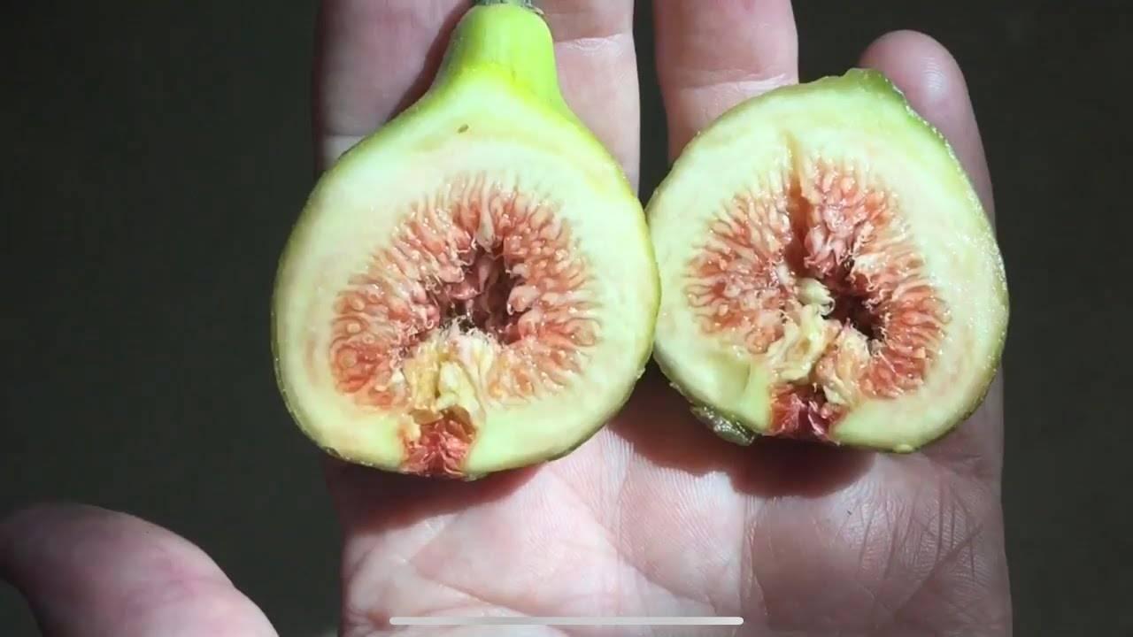 Инструкция по выращиванию инжира в домашних условиях из косточки или ростка