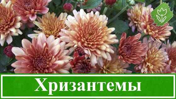 Хризантема в горшке: особенности посадки и ухода