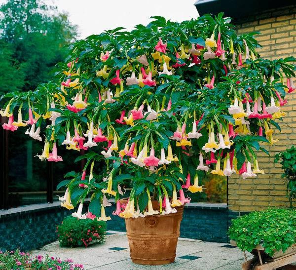 Бругмансия: выращивание из семян сказочного цветка желаний