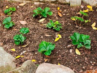 Способы размножения ремонтантной садовой земляники