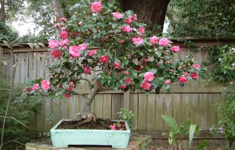 Камелия древовидная: как правильно сажать и ухаживать за растением