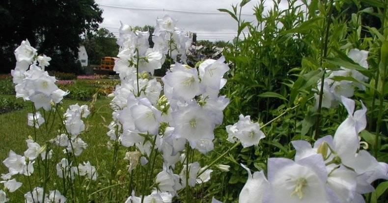 Выращивание колокольчиков в открытом грунте
