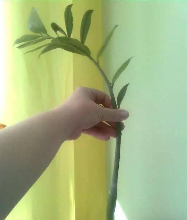 Размножение замиокулькаса