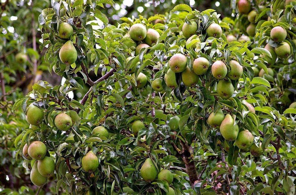 Груша «память жегалова»: особенности выращивания и уход за сортом