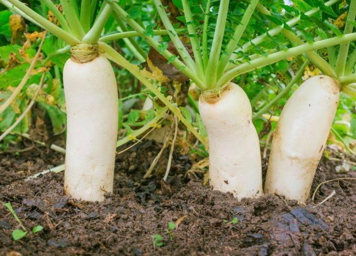 Редька: выращивание из семян на огороде