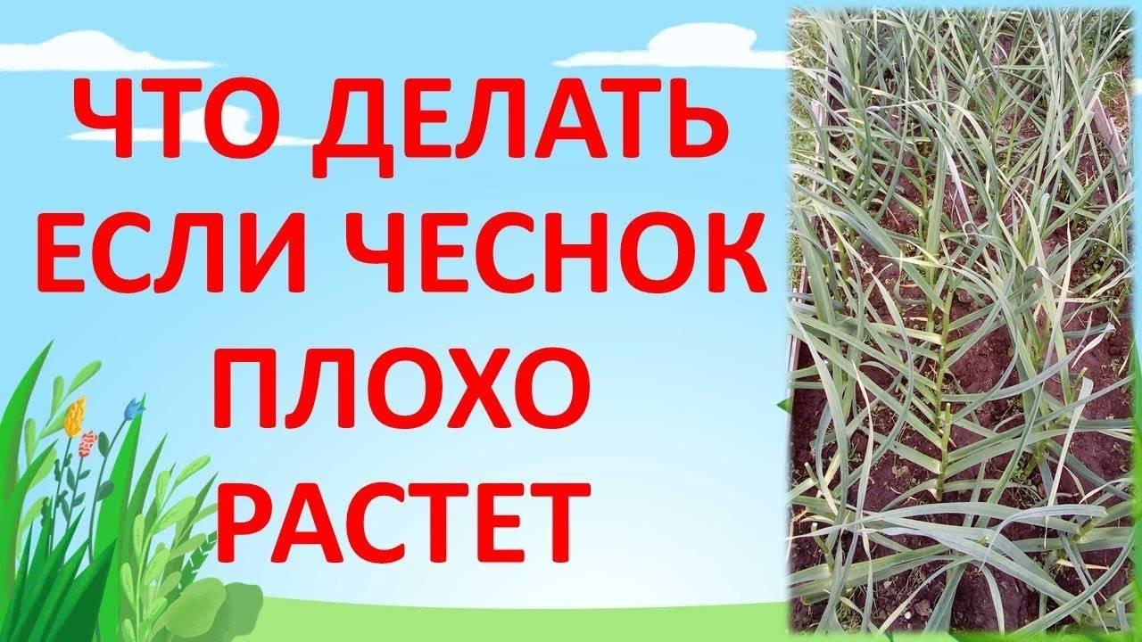 Желтеет чеснок весной: причины, восстановление и профилактика