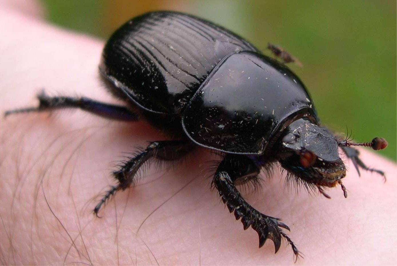Значение символа жук скарабей