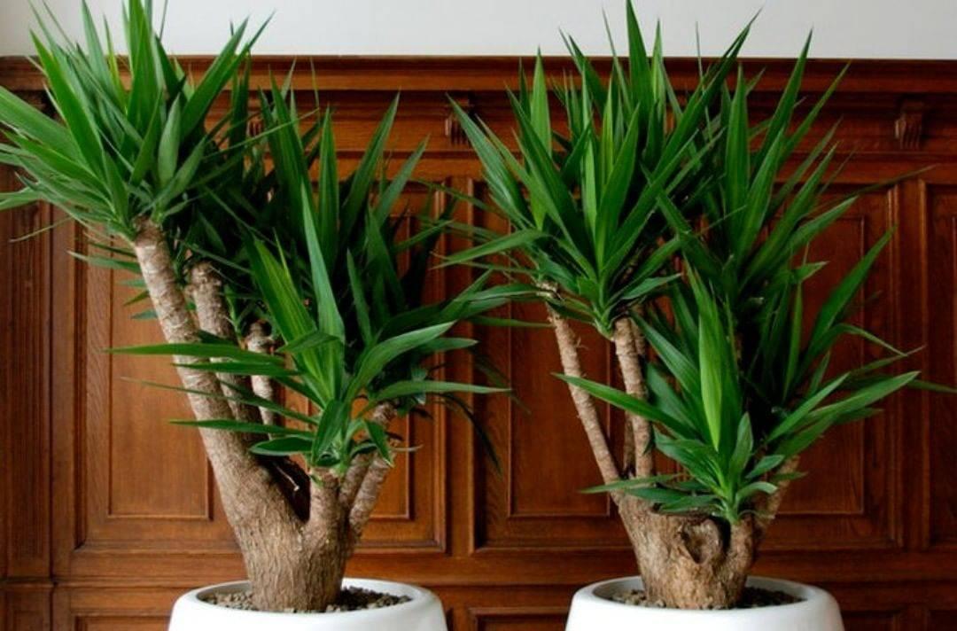 Садовая юкка – как вырастить белоснежную гостью?