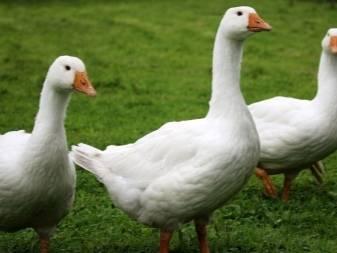 Особенности разведения гусей в домашних условиях для новичков