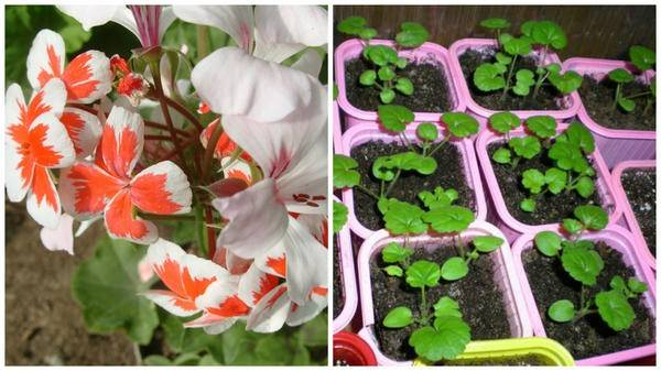 Выращиваем герань из семян