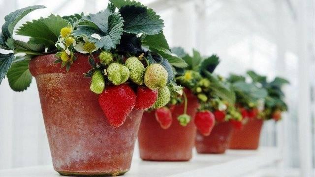 Как ухаживать за клубникой (садовой земляникой) весной – 5 простых шагов
