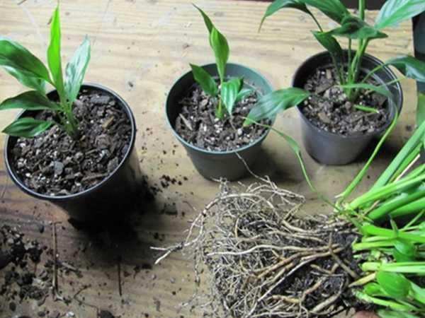 Все способы размножения спатифиллума в домашних условиях: пошаговая инструкция процедуры