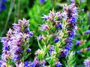 Иссоп или синий зверобой: выращивание из семян, уход и фото
