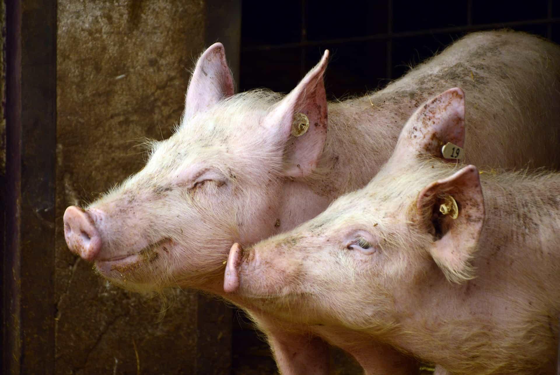 Как открыть бизнес по разведению свиней в домашних условиях