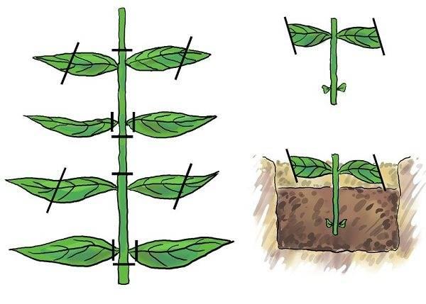 Флоксы— способы размножения