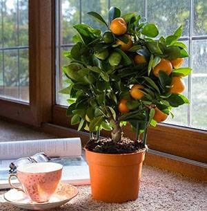 Успешно выращивание дома каламондина