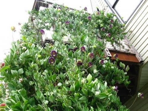 Цветок кобея: выращивание из семян, фото, посадка и уход в открытом грунте