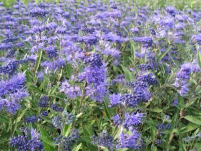 Выращивание кариоптериса кладонского и уход за кустарником