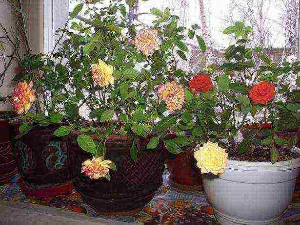 Укореняем и выращиваем розу из клубня картофеля