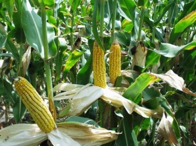 Как посадить кукурузу в огороде — поясняем по пунктам