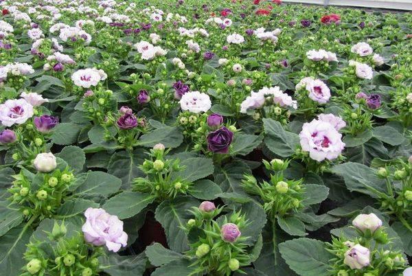 Синнингия гибридная или глоксиния: посадка семян, клубней и уход за комнатным цветком после пересадки