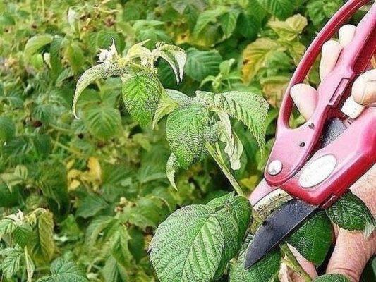 Секреты выращивания малины по методу соболева